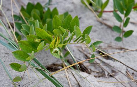 Strand-Fladbælg - Lathyrus japonicus ssp. maritimus