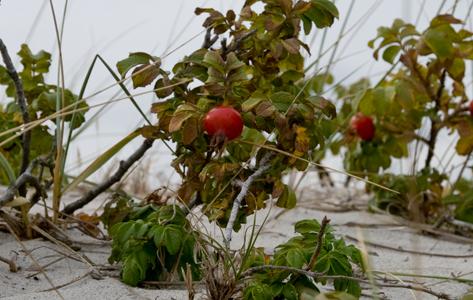 Hybenrose - Rosa rugosa, også kaldet rynket rose, er en løvfældende busk som bliver op til 2 meter høj og lige så bred. Den laver udløbere med rodskud og er derfor på listen over landskabsukrudt som Skov- og naturstyrelsen anbefaler at man holder nede