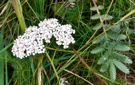 Røllike - Achillea millefolium. Røllike bliver 30-50 cm høj og blomstrer i julli - september. Den findes næsten over alt, på enge, græsplæner, vejkante osv. Den er en gammel lægeplante der blev brugt bl. andet ved feber og betændelse