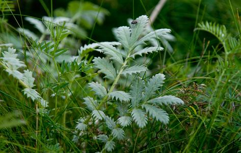 Gåse-potentil - Potentilla Anserina L. Gåse-potentil er en tæppedannende, lav staude med krybende vækst. Blomstrer i juni - august