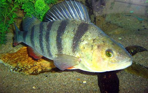 Aborren er en ferskvandsfisk. Den kan altså ikke leve i havet, men den svømmer rundt i vores søer, damme og åer. Om vinteren søger den på dybt vand og gemmer sig på den måde under isen. Foto: Wikimedia Commons, Dgp. Martin.