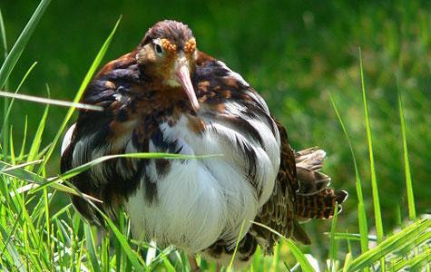 Brushanen er en af vores flotteste fugle. Og også en af de mest specielle. Brushanerne er nemlig kendt for deres fantastiske danse, når de kæmper om hunnerne. Foto: Wikimedia, Thorner Hof