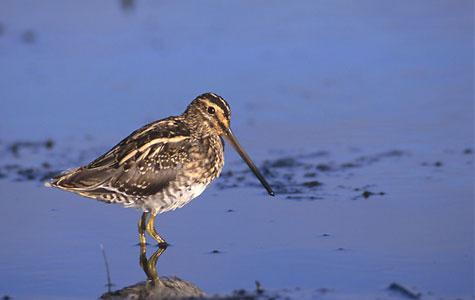 Dobbeltbekkasinen holder som de fleste fugle i ådalen til i våde enge og moser. Det er en trækfugl, der kun sjældent overvintrer i Danmark. Foto: Wikimedia Commons, Pkuczynski.