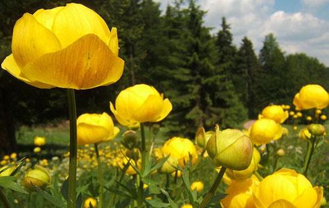 Engblommen er en staude - det vil sige en helårig blomst, der visner om vinteren, men kommer igen næste forår. Engblomme blomstrer i maj-juli med store gule blomster. Foto: Wikimedia Commons, SehLax.