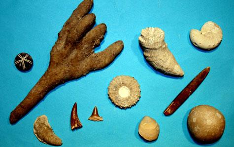 """Nogle fossiler findes både i kridt og kalk. Vættelys og mosasaurtand findes kun i kridtet, for disse dyr uddøde i Kridttiden. Vættelys stammer fra en art blæksprutte. Dyret byggede """"vættelyset"""" som vægtklods, så det kunne holde balancen i vandet."""
