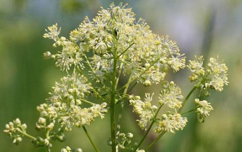 Gul Frøstjerne er en flerårig plante, der vokser på fugtige steder langs med åer eller moser. Gul Frøstjerne kan blive næsten 1 meter høj. Foto: Wikimedia Commons, Kristian Peters