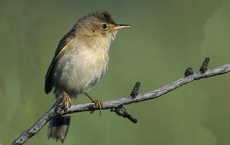 Kærsangeren er en lille fugl på omkring 12 centimeter. Den hænger sin rede i små planter som fx brændenælder og småbuske. Foto: Wikimedia Commons, Mark Szczepanek.