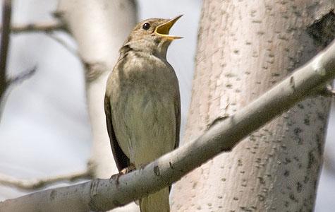Nattergalen er kendt for sin sang - men den kan være svær at få øje på. Til gengæld er nattergalen en af de eneste fugle, der synger om natten. Foto: Wikimedia Commons, Yeliseev.