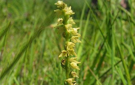 Pukkellæben er en orkidé. Den findes ikke ret mange steder i Danmark, da den har brug for meget kalkrig jord. Derfor har den det godt på Stevns. Foto: Wikimedia Commons, Kristian Peters.