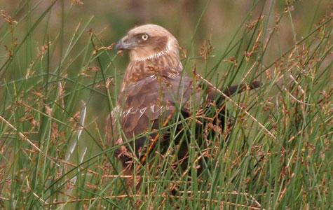 Rørhøg er en rovfugl, der lever af mindre fugle, mosegrise og mus. Den er trækfugl, der om efteråret flyver mod Afrika for at overvintre. Foto: Wikimedia Commons, J M Grag.