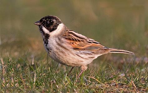 Rørspurv er ligesom Gul Vipstjert en spurvefugl. Den er almindelig i Danmark og holder gerne til i sumpede områder, selvom den også kan ses på markerne om efteråret. Foto: Wikimedia Commons, Andreas Trepte.