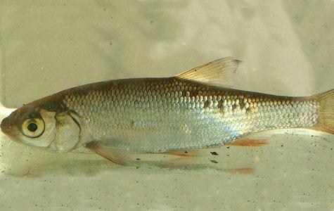 Rimten er ved at være en sjælden fisk, men den findes enkelte steder i åer og vandløb, fx i Tryggevælde Å. Rimten er en skallefisk og den vejer normalt op til 2 kilo. Foto: W.C. Viridiflavus.
