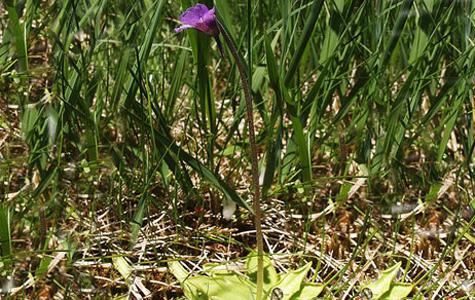Vibefedt er en kødædende plante. De fedtede blade bruger planten til at fange små insekter - men kun små insekter! Når dyrene er fanget bliver de opløst af syre og ensymer fra planten.Foto: Wikimedia Commons, Bernd Haynold